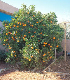 Valencia Orange Is One Of The Easiest Citrus To Grow It Primarily Used As A Juice